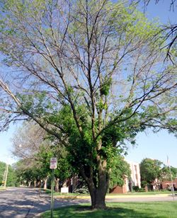 Emerald Ash Borer infected tree